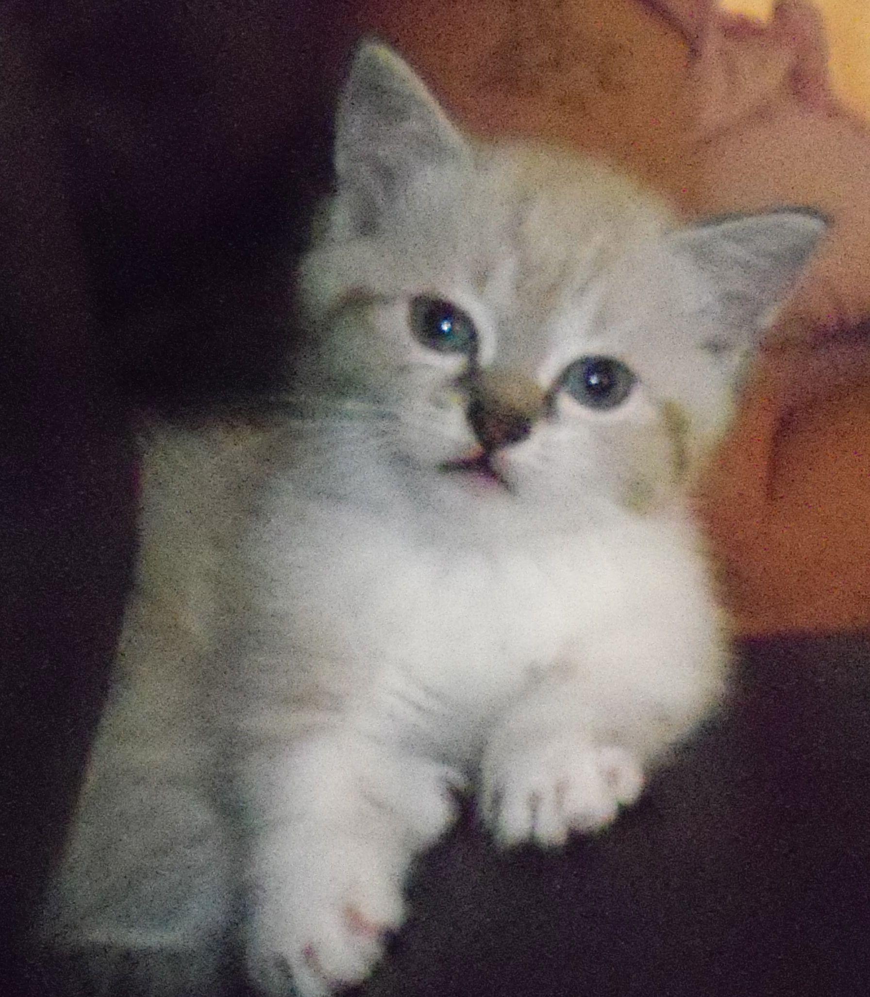 Echo Standard Short Hair Napoleon Cute Cute Short Legs Napoleon Cat Cat Love Dwarf Cat