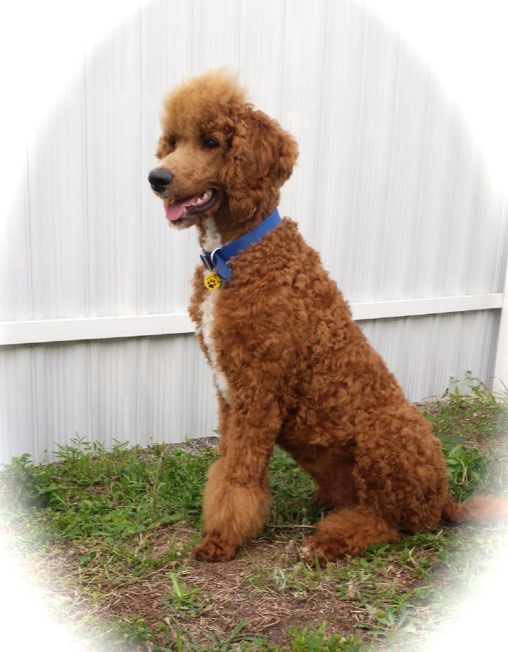 We Are Breeders Of Parti Standard Poodles In Southwest Florida