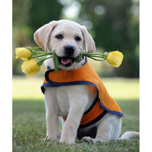 Labrador Puppy With A Rose In His Mouth Is Looking So Funny