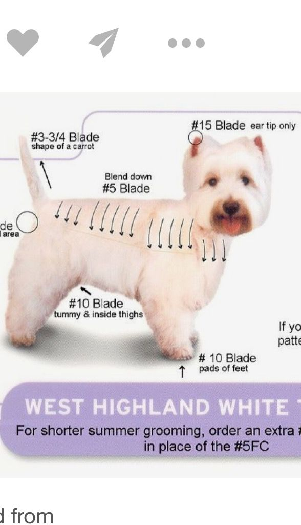 Good Guide For Grooming Cairn Terrier Cairn Terrier Dogs Of The