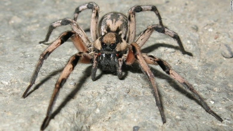 The Spider Lycosa Aragogi Named For Aragog From The Harry Potter Books And Movies