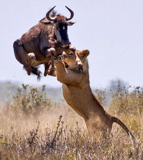 Wildebeest vs lioness