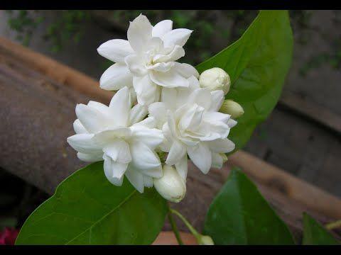 How To Care Mogra Jasmine Planting Jasmine Jasmine Flower
