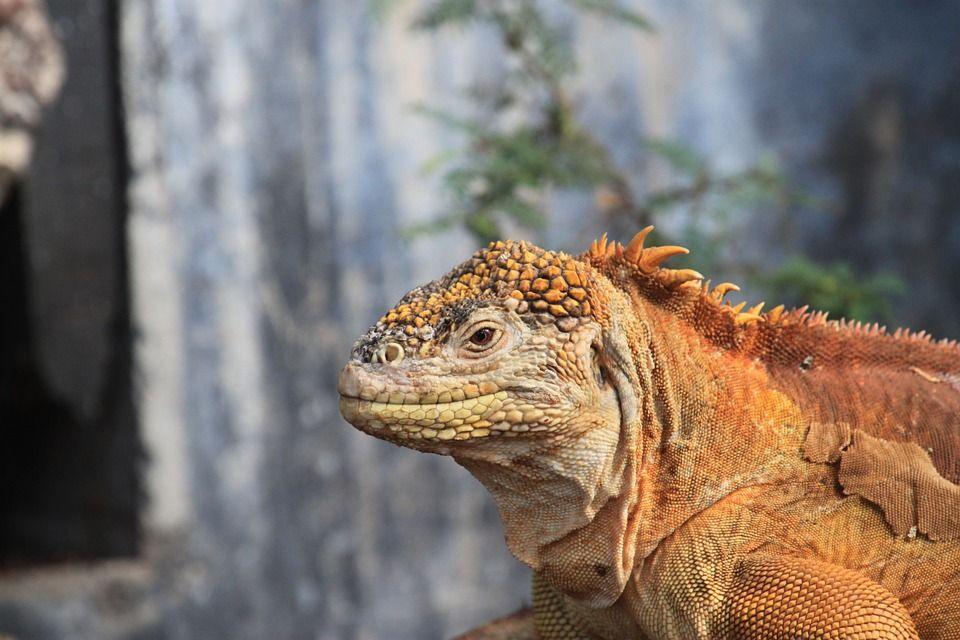 Rebosan en Tulum (en el sur) o en El Rey (al norte). En Cancún se encuentran al menos 1.500 especímenes en los jardines y sobre las piedras del templo maya El Rey. A veces se reúnen en colonias por decenas y dejan acercarse a ellas a uno o dos metros de distancia.