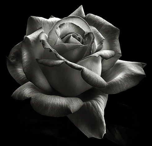 Rose photography black and white google search