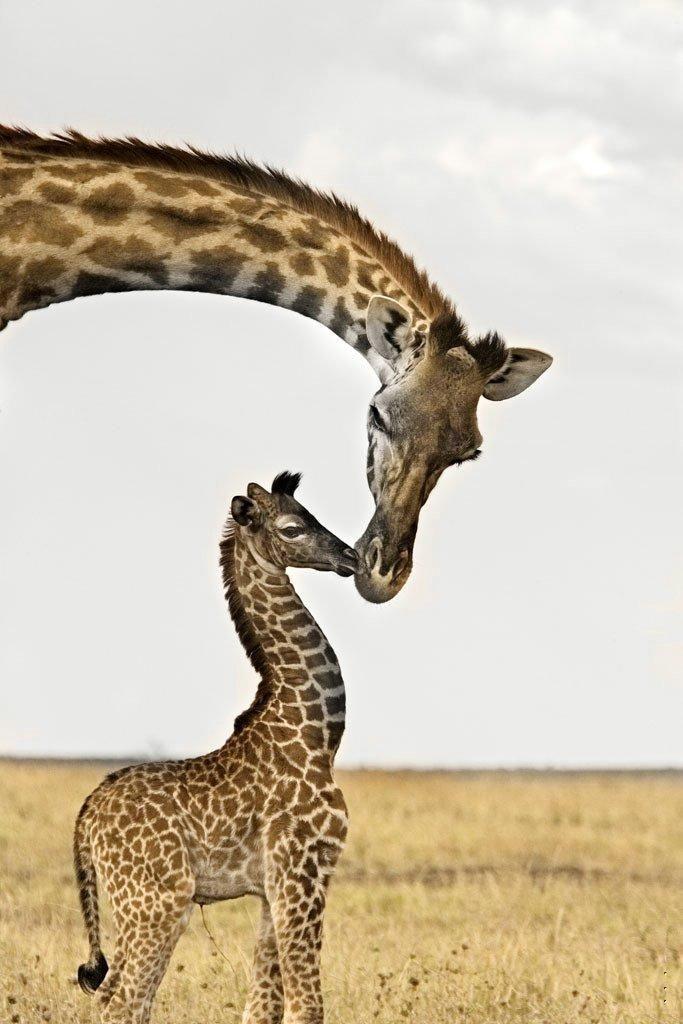 Morning Kisses Animals Cute Animals Giraffe