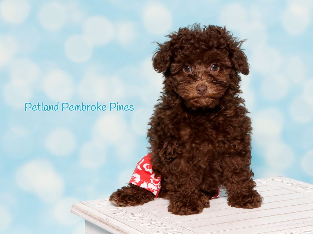 The Journey Of Life Is Sweeter With A Poodle Nothing Like Having