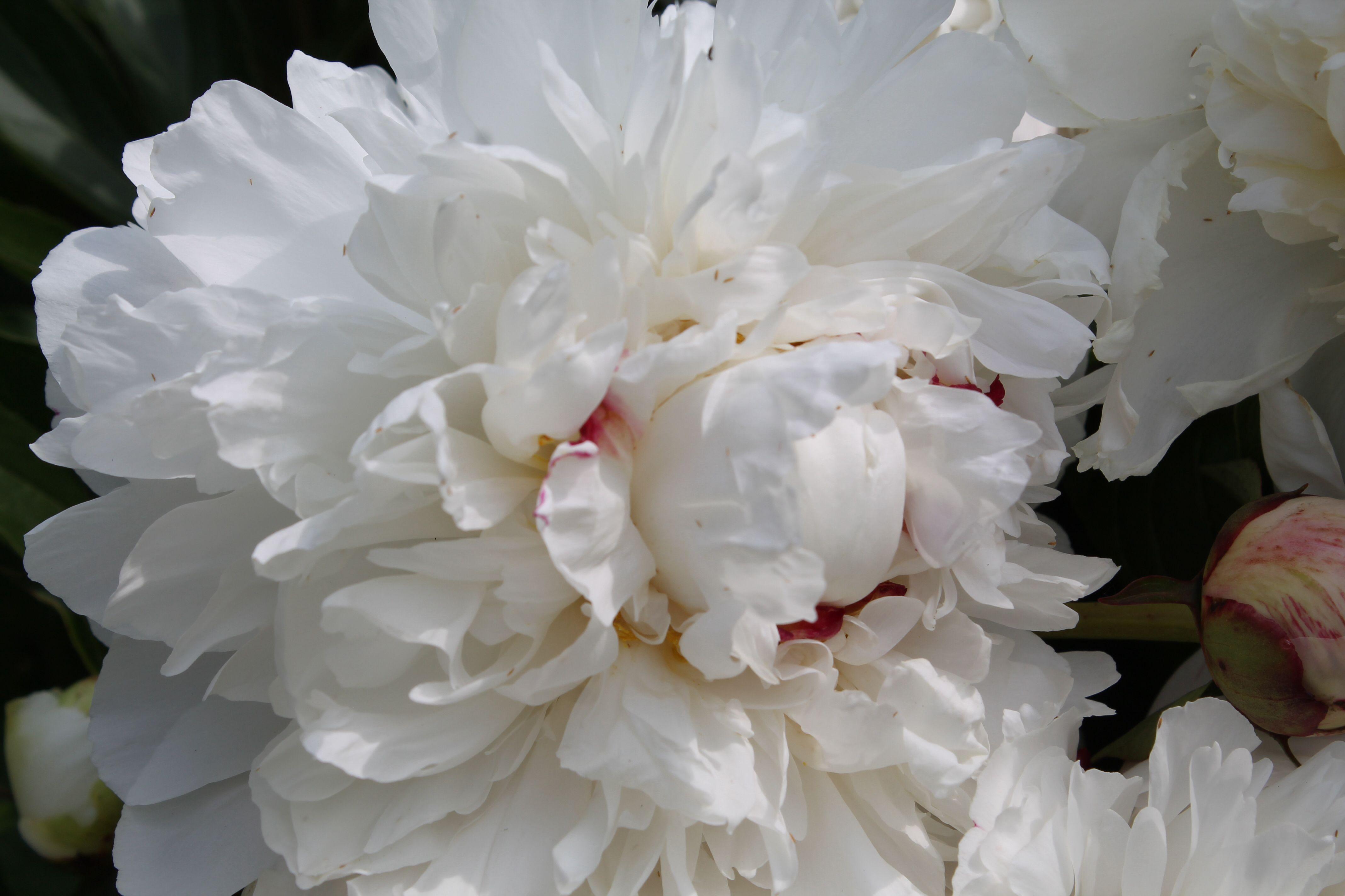 The peony. My favorite flower.