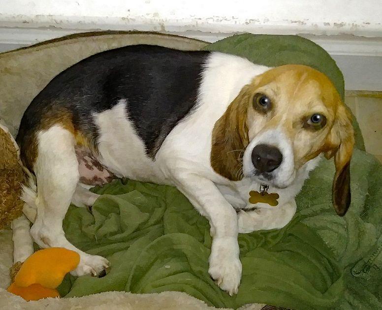 Why Beagles Make Great Pets Beagle Dogs Dogs Beagle Dog Beagle