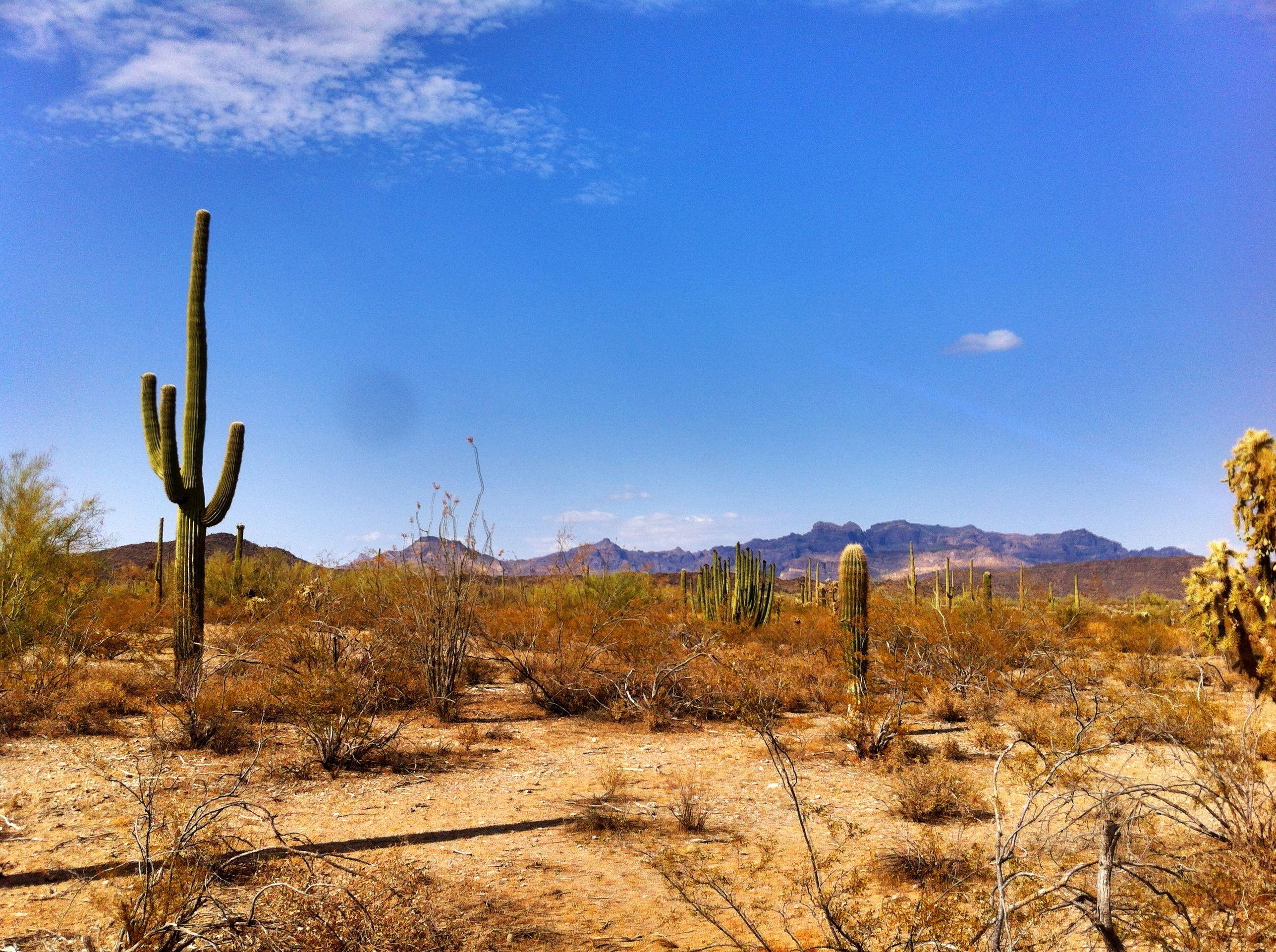 Desert Cactus Organ Pipe Cactus National Monument