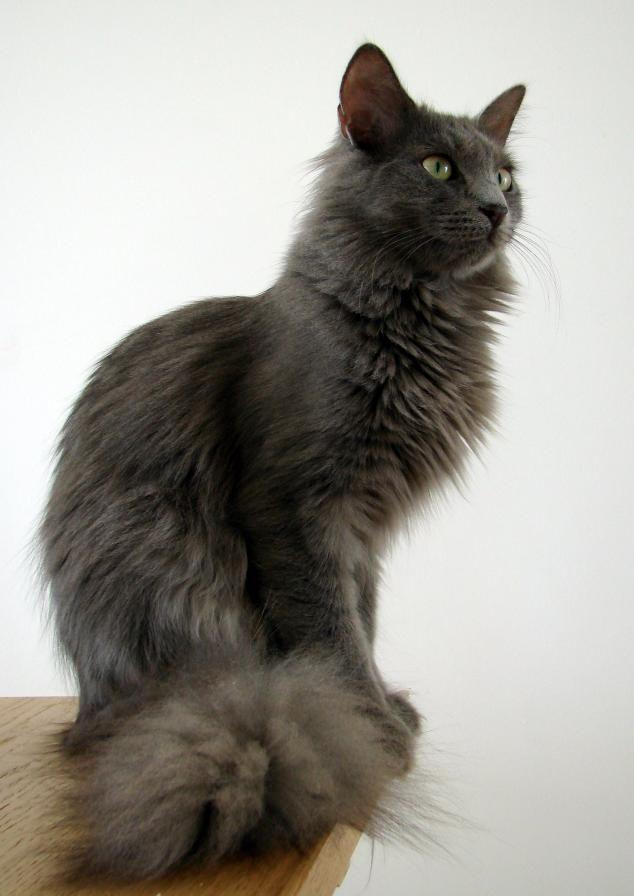 Jasmin The Grey Cats Angora Cats Turkish Angora Cat Cats