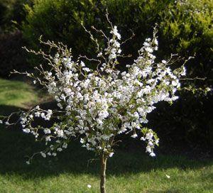 Prunus Kojo No Mai A Delightful Little Flowering Cherry 400 x 300