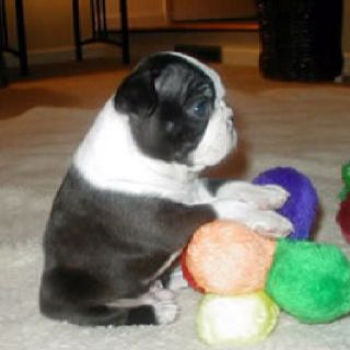 My Dream Is To Have A Little Boston Terrier Puppy Boston
