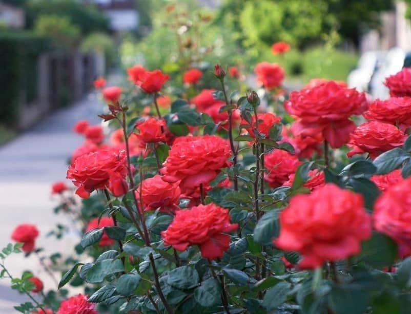 Gambar Bunga Mawar Paling Cantik 40 Gambar Bunga Cantik Indah Bagus Comel Foto Wallpaper Hd 5 Fakta Mawar Yang Menakjubkan Di 2020 Menanam Bunga Bunga Tanaman Semak
