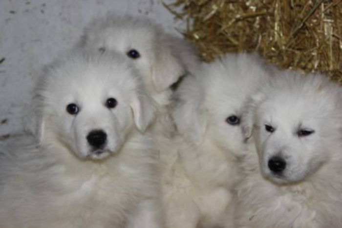 Great Pryness Dog Photo For Sale Great Pyrenees Maremma Puppies