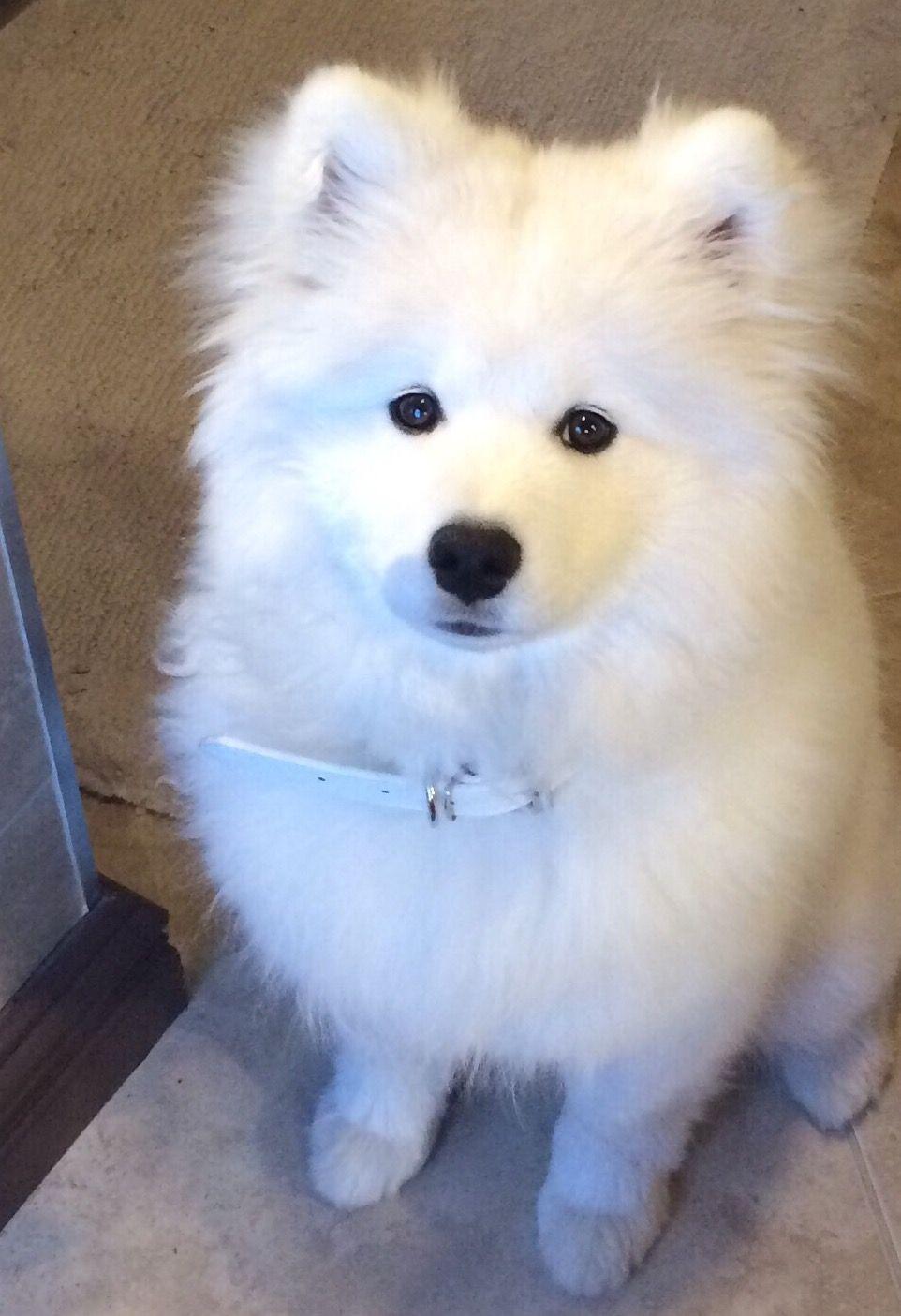 Laska Samoyed Dog 5 months