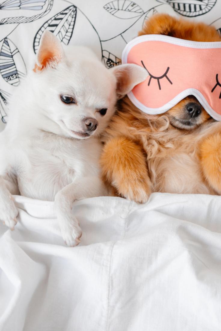 Cute Funny Red Pomeranian Female Puppy Lying On Back In Sleeping