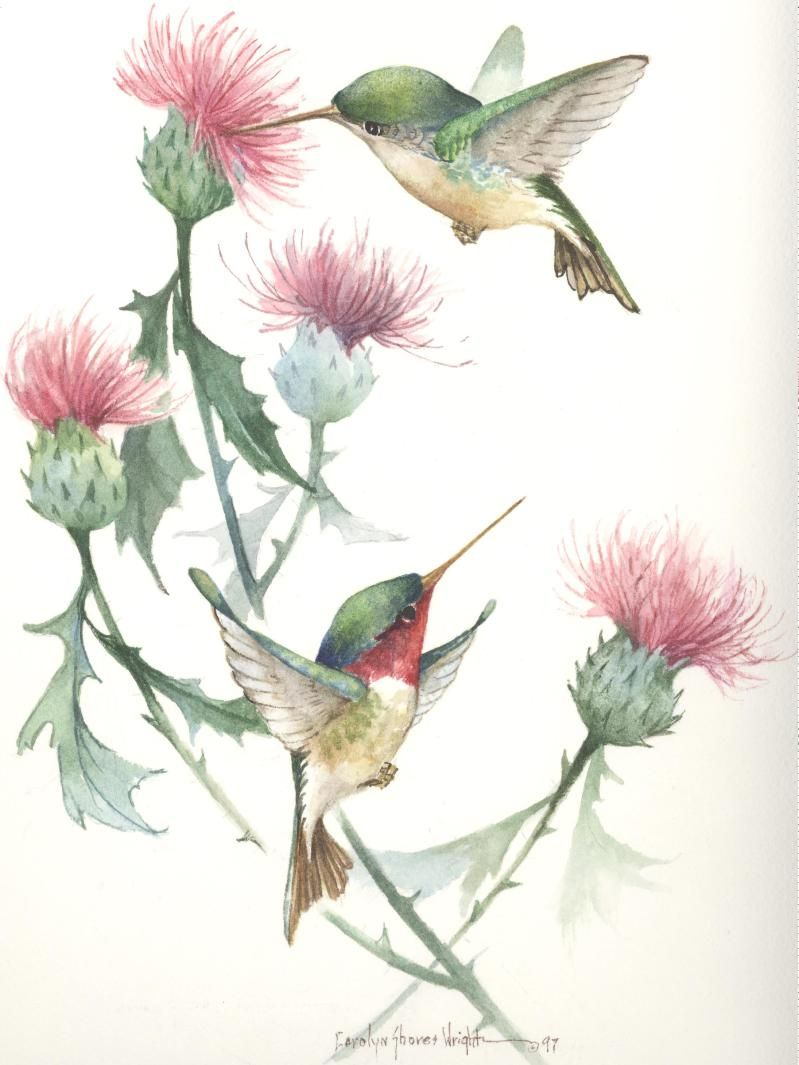 Carolyn Shores Wright Hummingbirds And Thistle