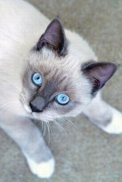 Facts About Snowshoe Siamese Cats Siamese Cats Facts Snowshoe