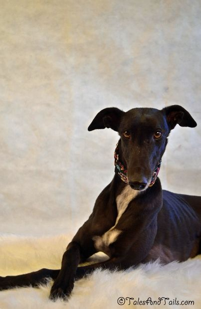 Sweet Pea Italian Greyhound Dog Grey Hound Dog Greyhound Puppy