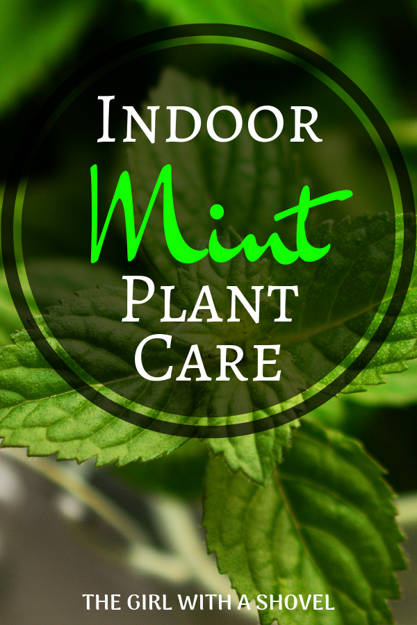 Indoor Mint Plant Care | The Girl with a Shovel