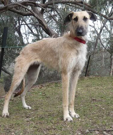Borzoi Afghan Hound Mix Mix Breeds Dogs Bearded Collie Lurcher