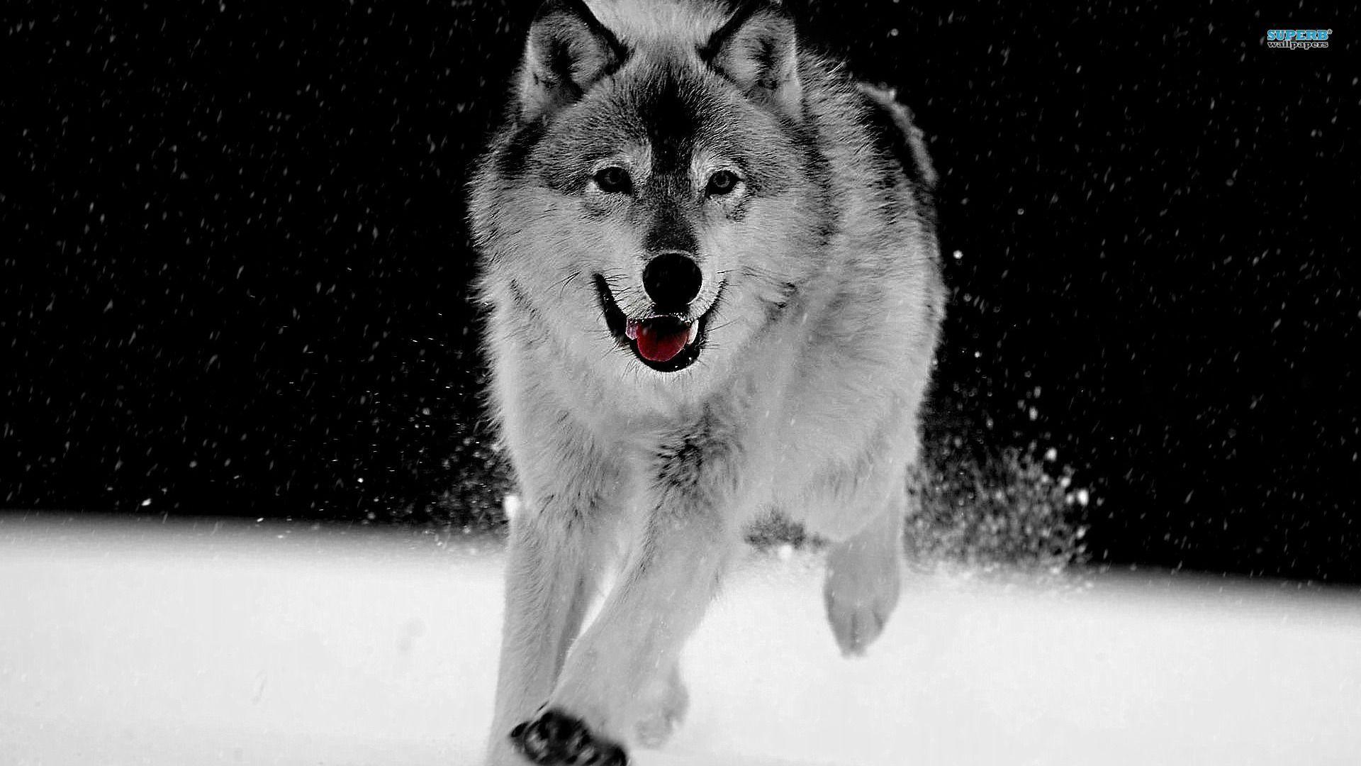 Beautiful Gray Wolf Wallpaper Laptop - c3d54753020605f633e505f55c553fbe  Best Photo Reference_668062.jpg