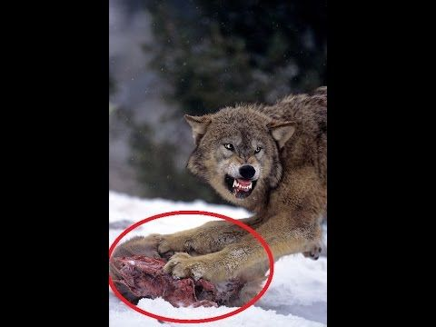 The Top 10 Animal Attacks Videos Wolf Attack Wolf Vs Coyote