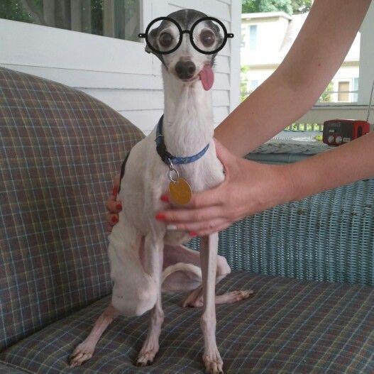 Zappa the italian greyhound. Instagram: @the_real_zappa