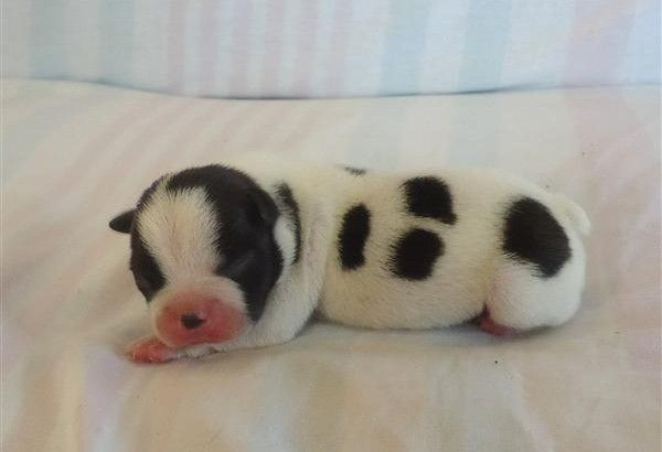 It S A New Born Puppy And Looks Like A Little Pig Newborn