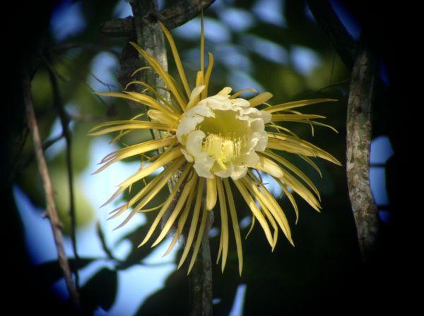 Kakteen arten die sch nheit der k nigin der nacht pflanzen pinterest kaktus kakteen - Gartenpflanzen bestimmen ...