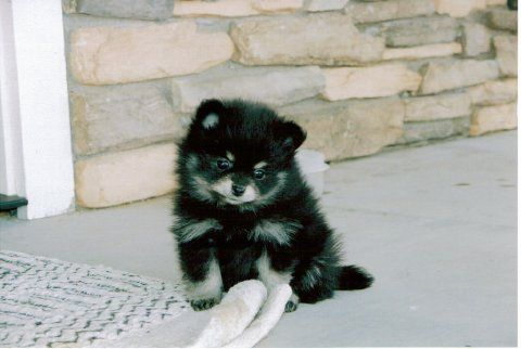 Soooooooooooooooooooooooooooooooooooooooooooooooooooooo Cute Kittens And Puppies Puppies Pomeranian Puppy