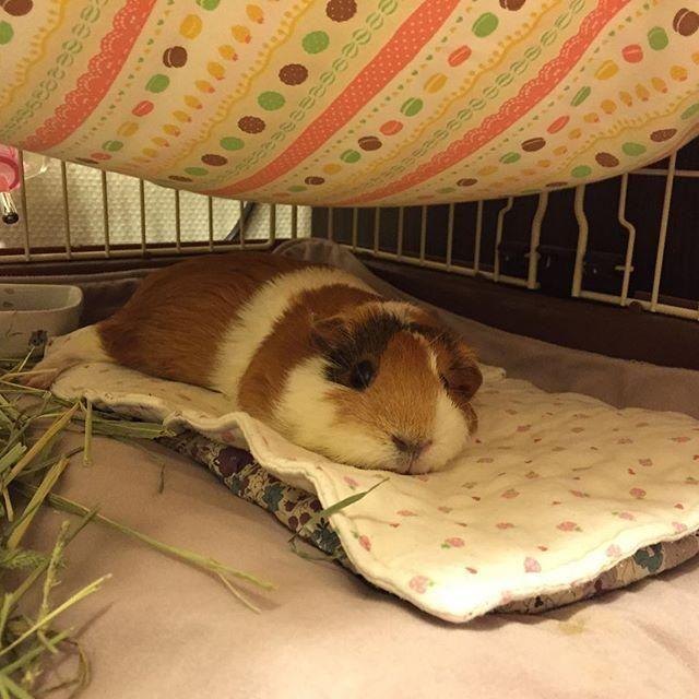 Favorite cushion <3 Moruu the #guineapig RT @moruhiro: おざぶとん http://ift.tt/1IJBpp8