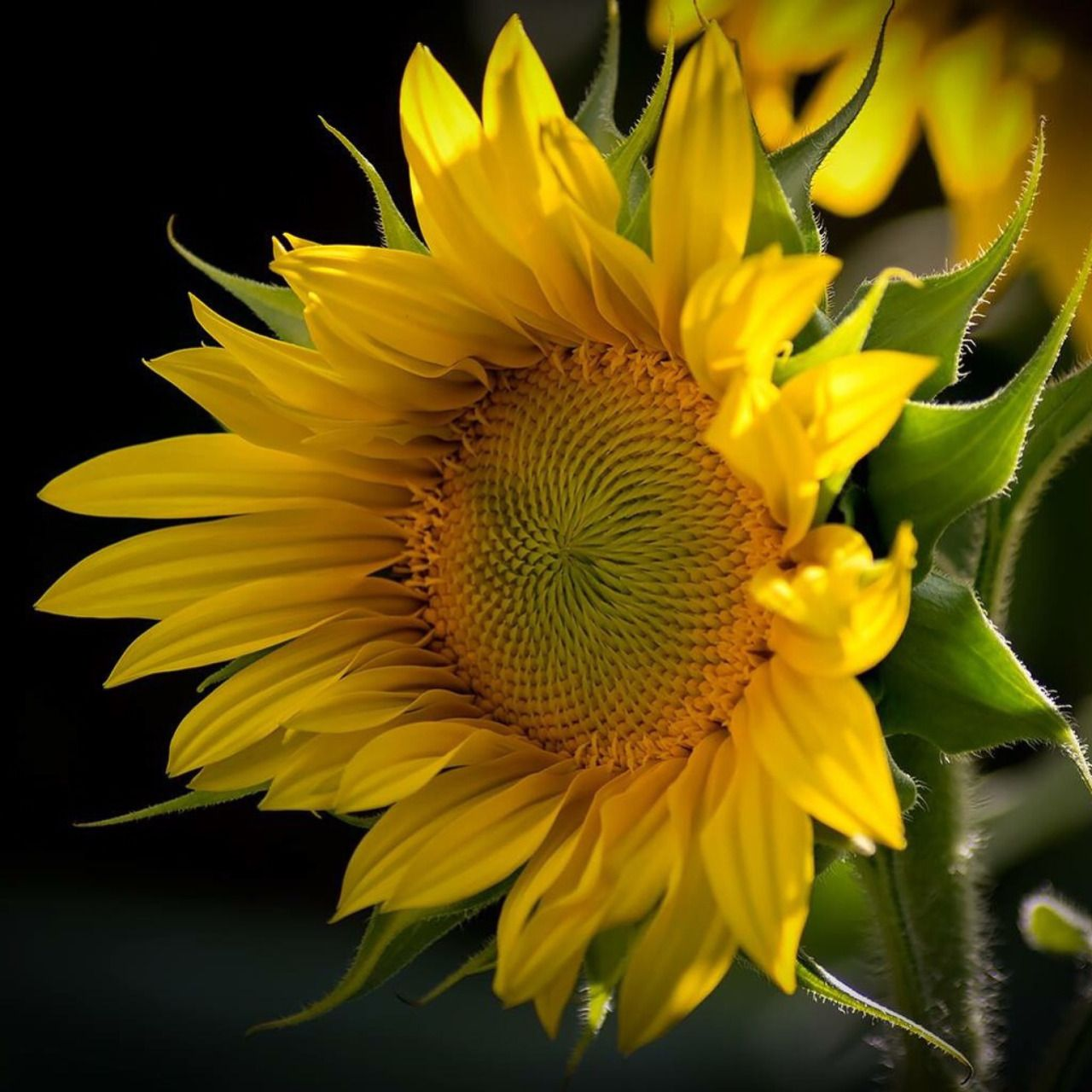 All things bright and beautiful.... Sunflower images