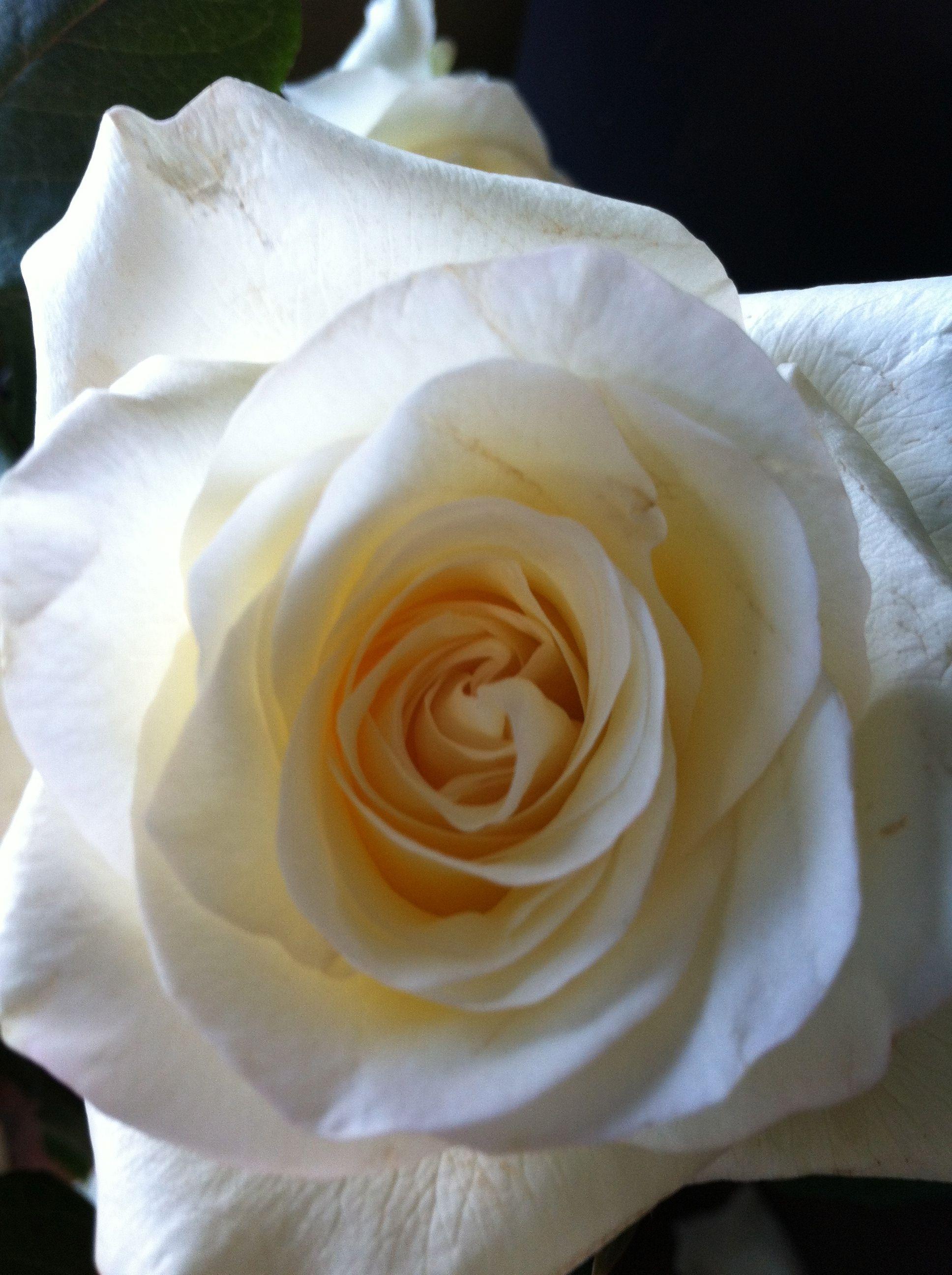 Wild Lotus Newportsydney Beautiful Roses Flowers Seasonal