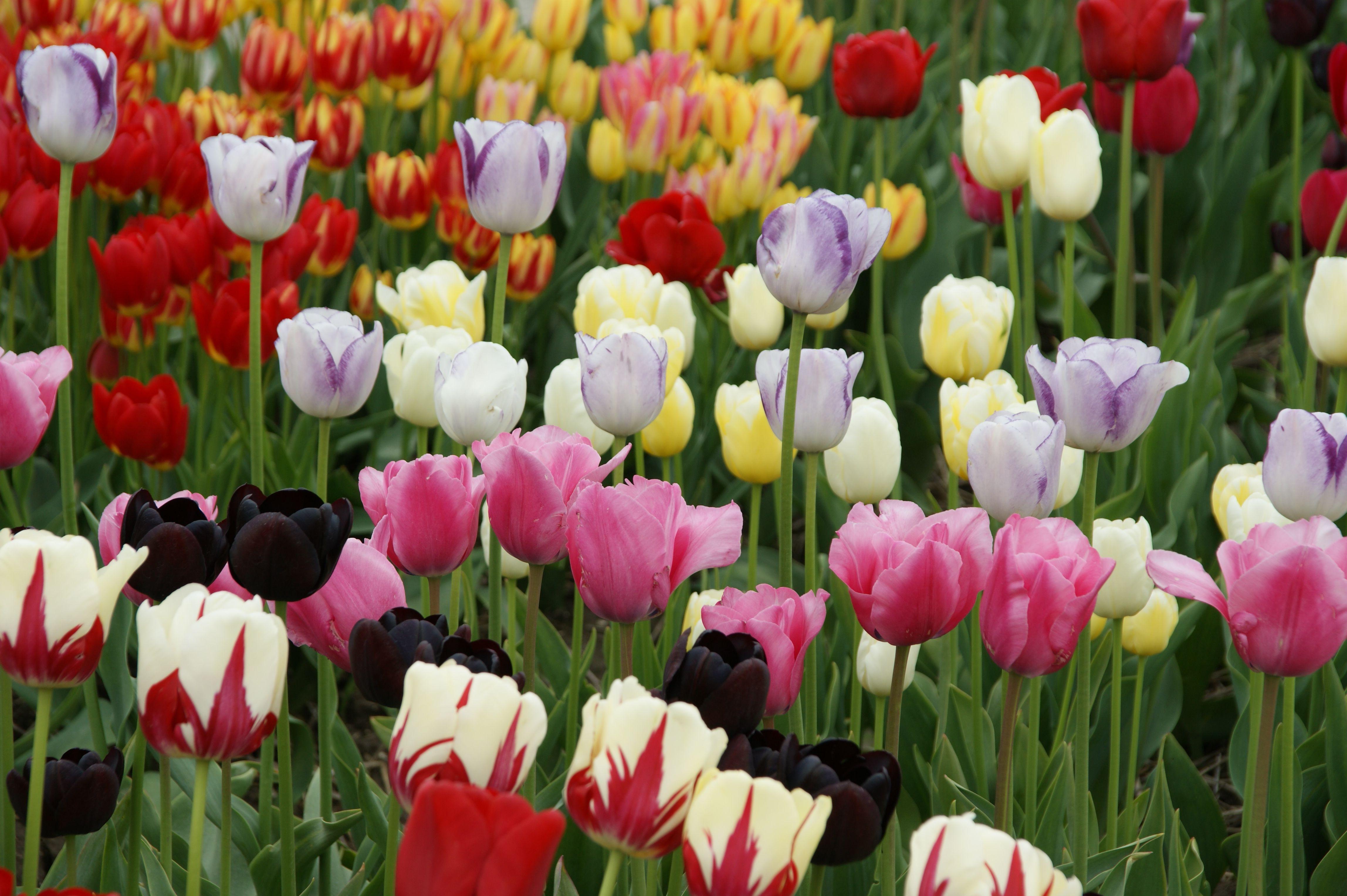 Tulpenroute Noordoostpolder 2013