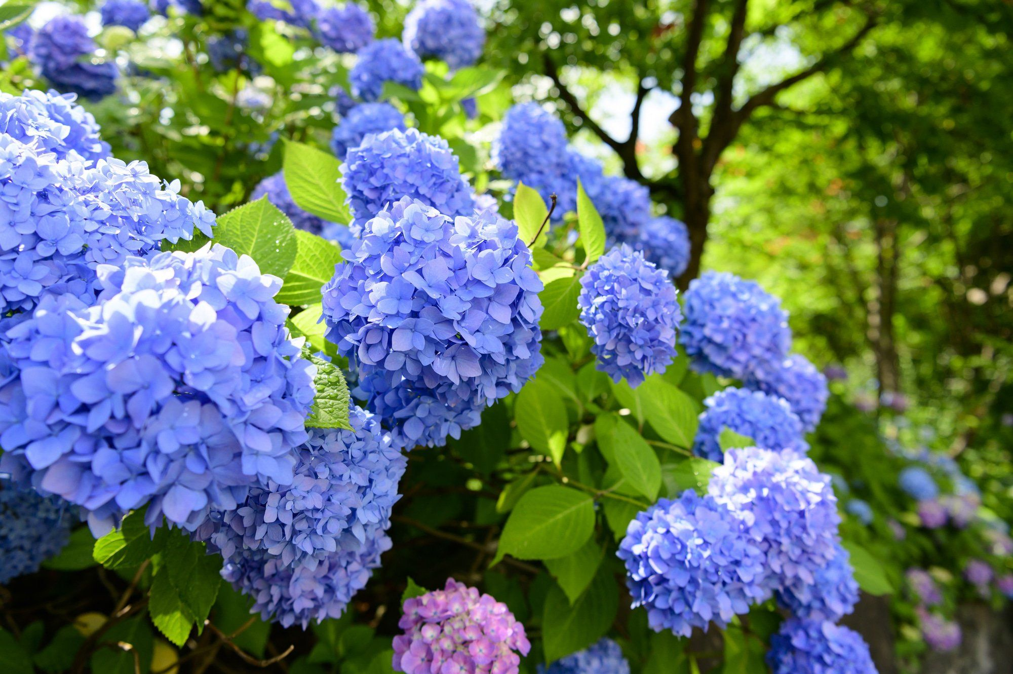 Hydrangeas And The Rainy Season Japan S Flower Of Early Summer Matcha Japan Travel Web Magazine The Rain In 2020 Japan Flower Hydrangea Bloom Types Of Hydrangeas