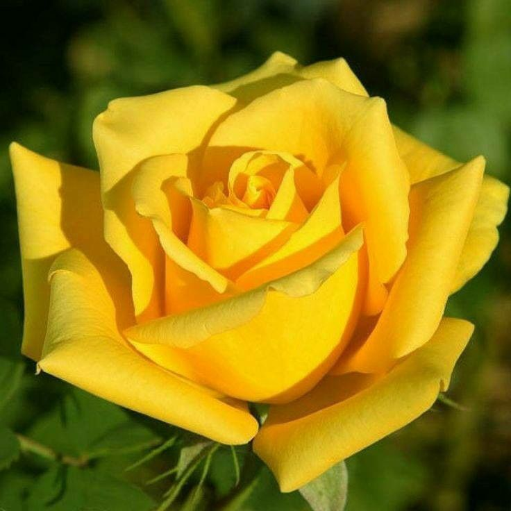 Yellow Rose Yellow Roses Rose Flower Rose