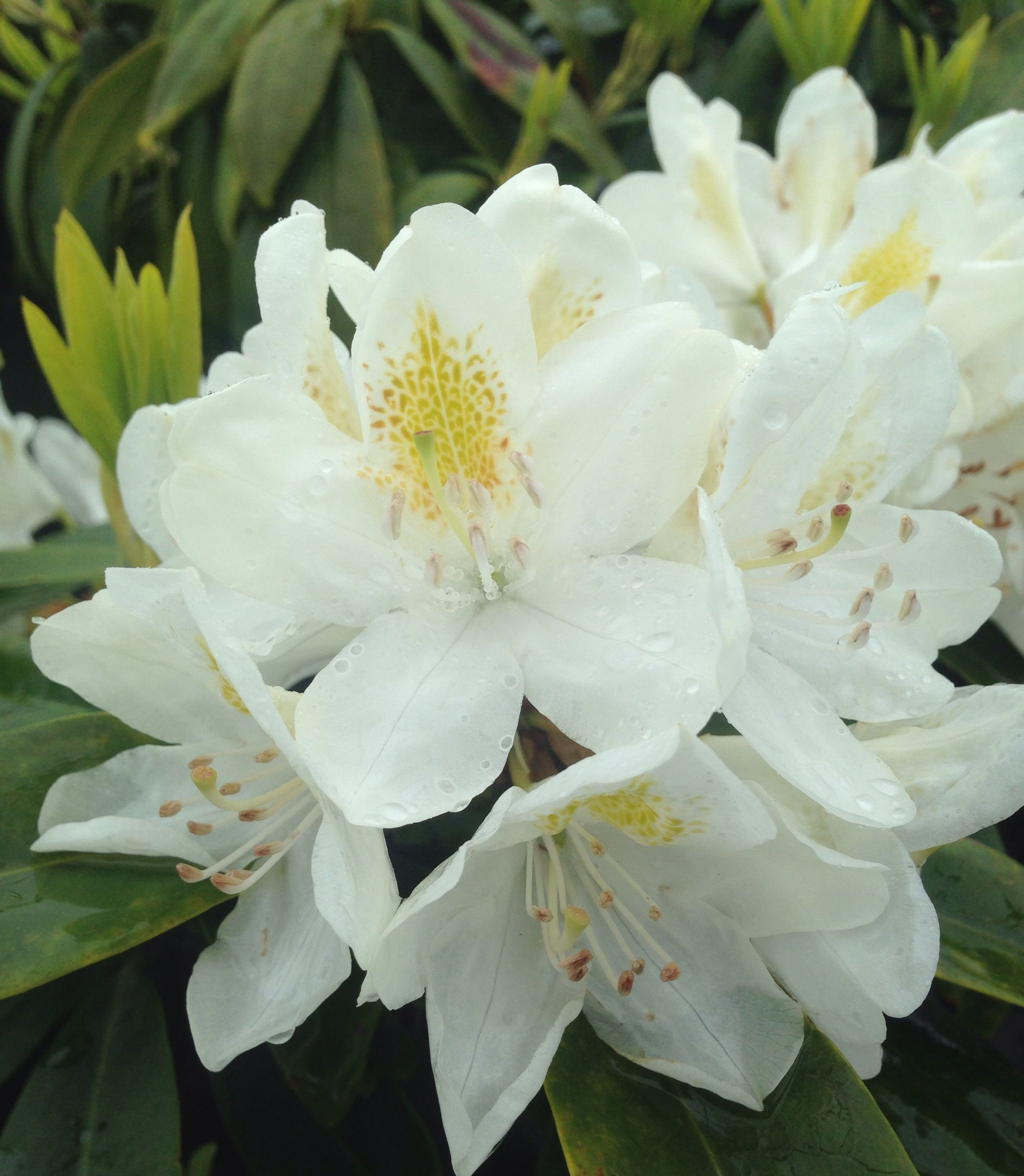 Edge Of Backyard Chionoides Rhododendron 4 Tall X 6 Wide