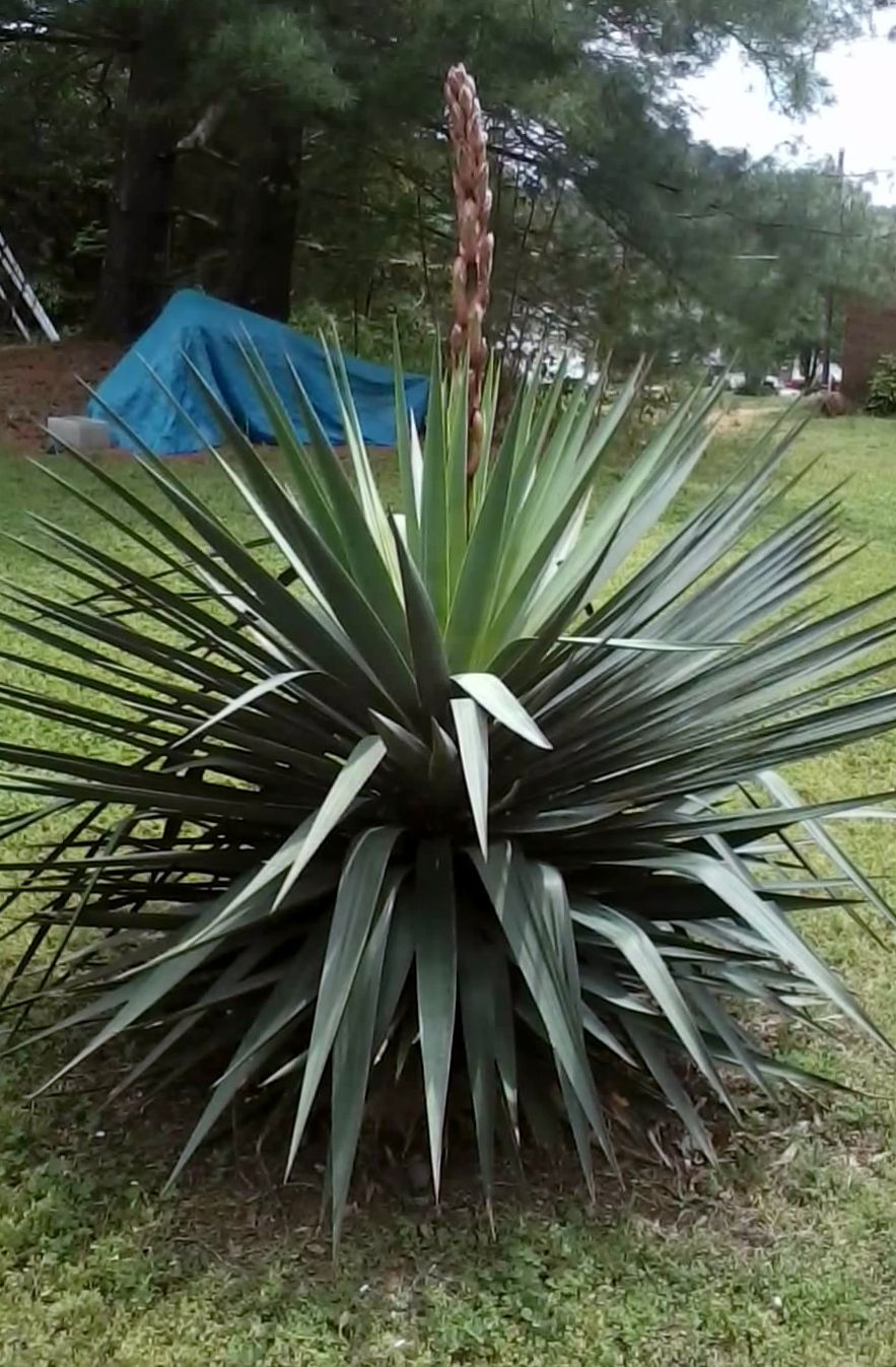 Yucca plant varieties common types of yucca plants farm large spiky leaves and large clusters of white flowers make yucca plants ideal for many landscape settings find out about the varieties of yucca plants mightylinksfo