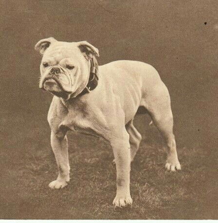 Pin On Mostly Vintage Bulldog Pictures And Postcards