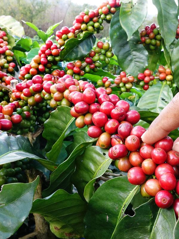 Kona Coffee Bush (coffea arabica) (With images)   Coffea arabica