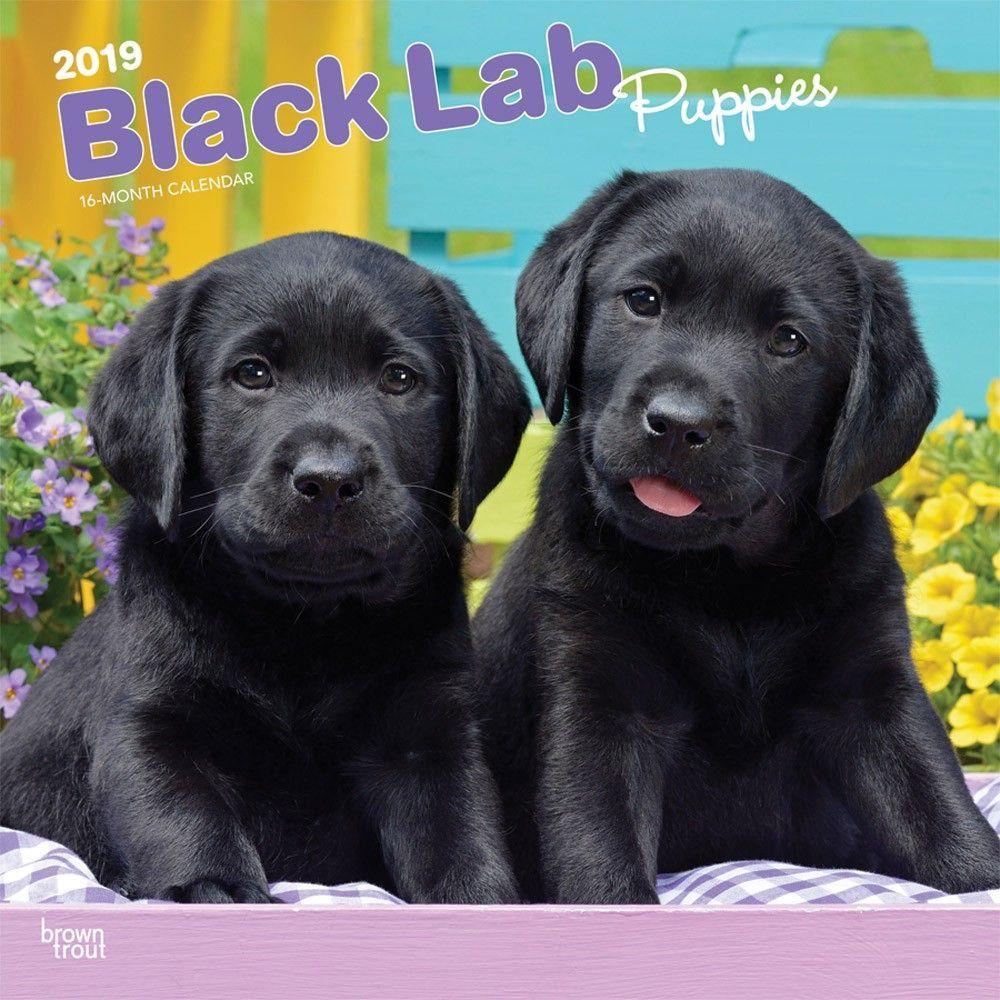 Black Labrador Retriever Puppies 2019 12 X 12 Inch Monthly Square