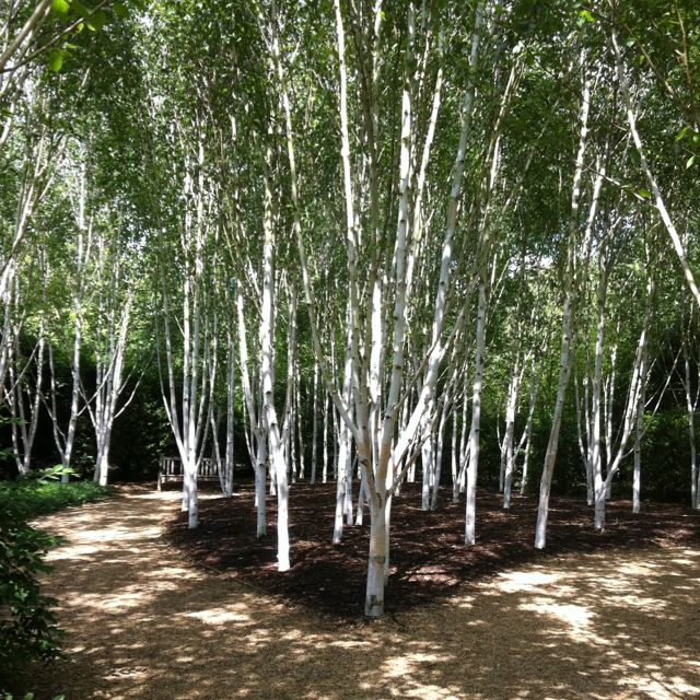 Stunning himalayan silver birch trees at anglesey abbey for Silver birch trees for small gardens