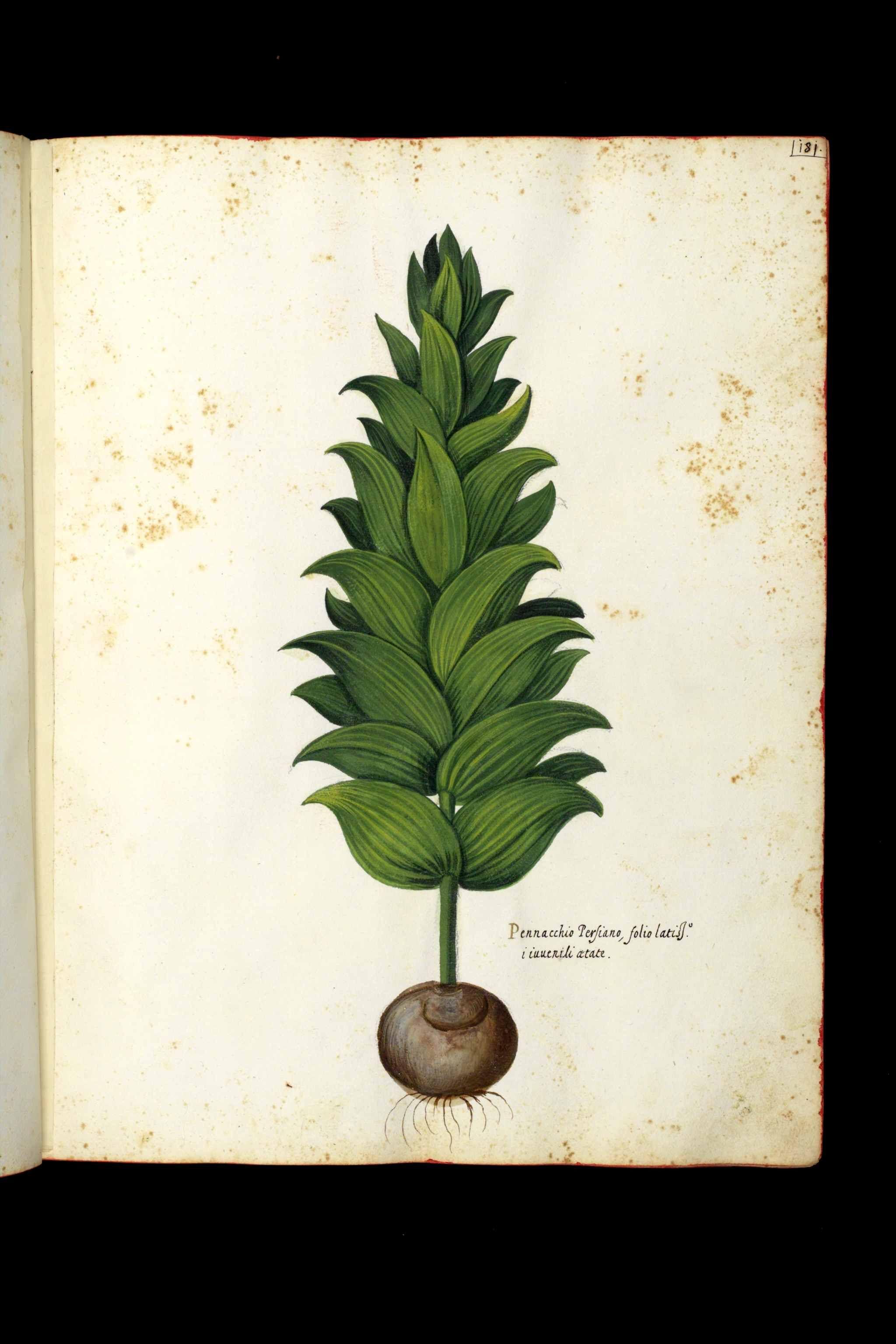 Magnum Opus Ulisse Aldrovandi 1522 1605 Universita Di Bologna Magnum Opus Stampe Botaniche Vintage