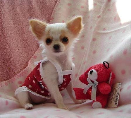 Idea by Kenya Betts on Chihuahua   Chihuahua puppies ...