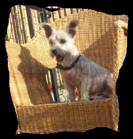 Lost Dog Cairn Terrier In Long Beach Ca Pet Name Nene Id 56337 Gender Male Breed Cairn Terrier Breed 2 S Losing A Dog Cairn Terrier Terrier Breeds