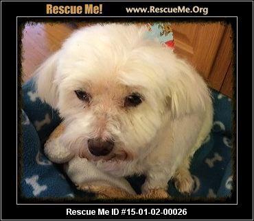 Maltese Rescue Maryland Maltese Little Dogs Post Animal