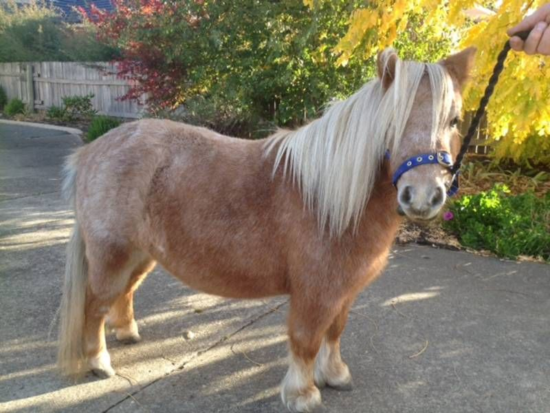 Miniature Pony Mare 500 00 Carrick Tas 7291 Gorgeous Strawberry Roan 4 Year Old Mini Mare For Sale To The Best Of Homes O Miniature Ponies Broodmare Horses