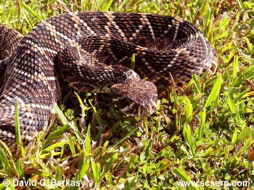 Snakes In Mississippi Mississippis Venomous Snakes Diamond Back - Poisonous snakes in mississippi